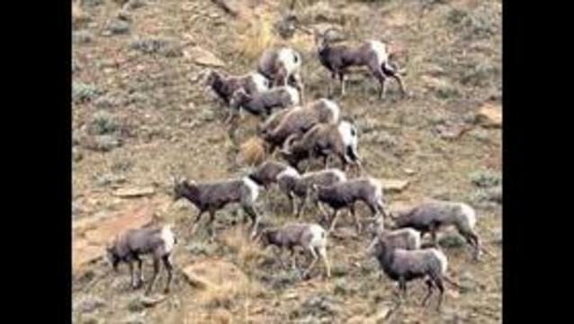 Nevada desert bighorn sheep to boost Utah herds