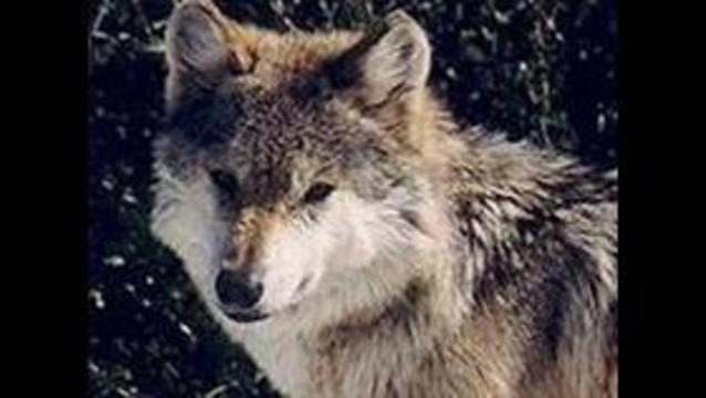 Biologists try to find wolf pack in Utah