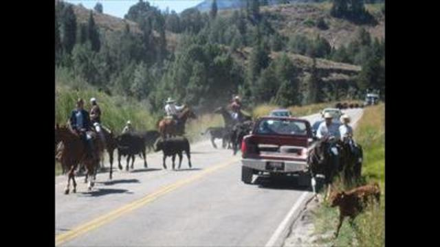 Utah ranchers search for cattle after crash