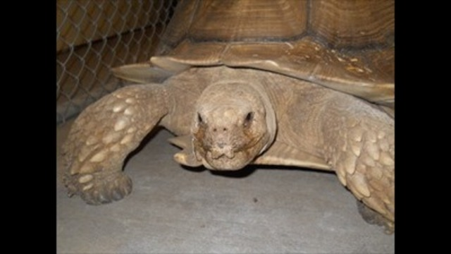 Runaway tortoise found wandering in downtown Logan