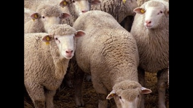 Sheep killed by dogs in West Mountain area