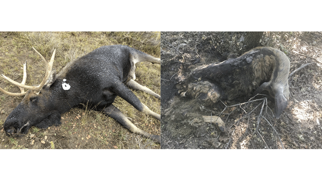 Wildlife officials investigating 2 separate poaching cases