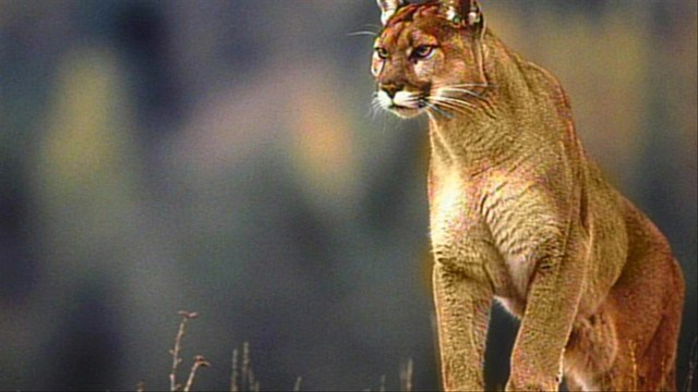 Officials investigate cougar sighting in Provo