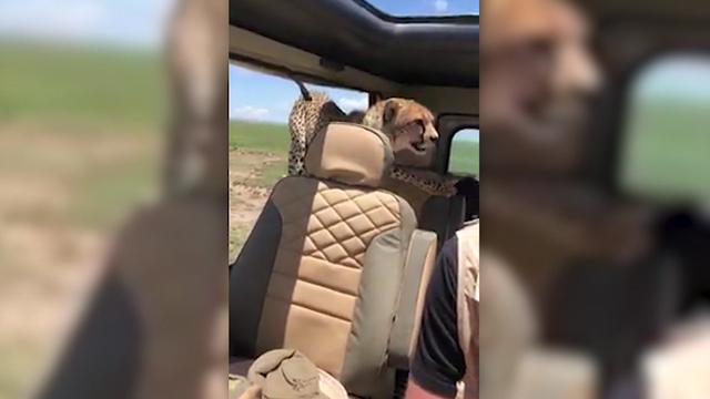 Video shows man's close encounter with cheetah during African safari