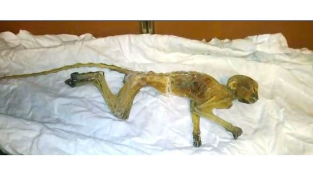 Mummified monkey remains mystery may have been solved