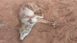 After hiker stumbles across coyote, possible illegal trap under investigation